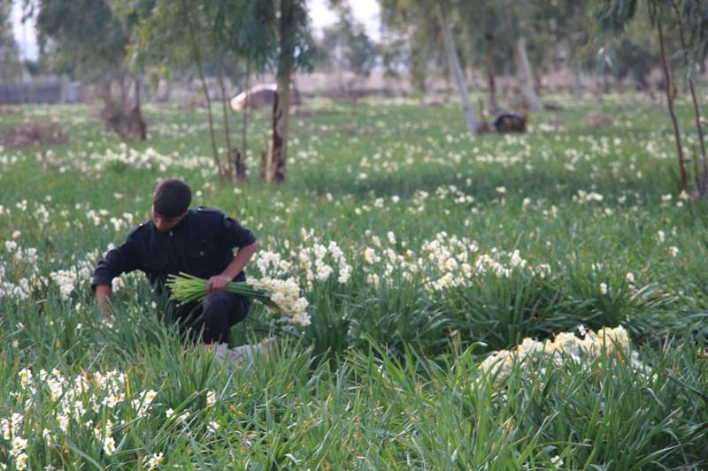 برداشت گل نرگس از نرگس زارهای بهبهان / گزارش تصویری